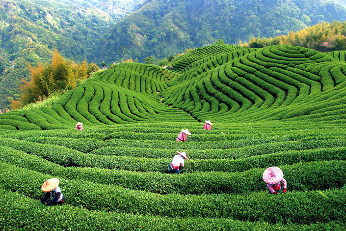 tea cultivation