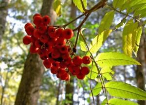 ветка красной рябины с ягодами