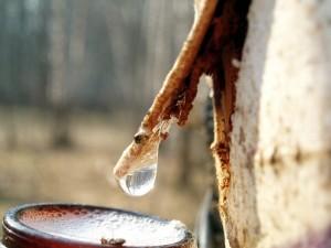 капля берёзового сока