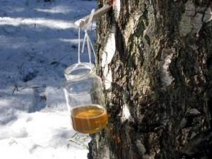 сбор сока с берёзы