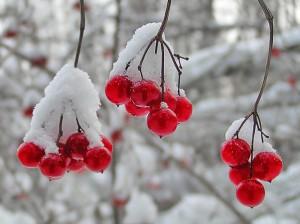 ягоды калины в снегу