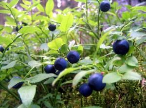 ягоды черники на кусте