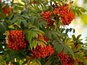 красная рябина (дерево)