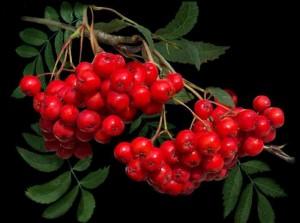 грозди красной рябины