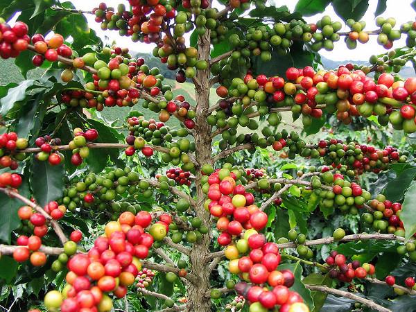 Кофе как растение