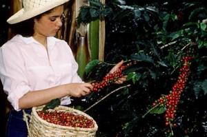 сбор плодов кофе