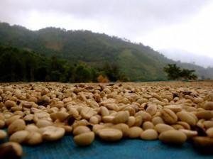 сушка кофе на плантациях