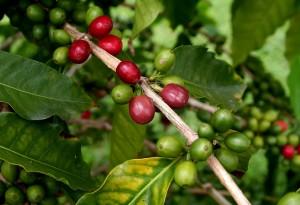 плоды робусты на ветке