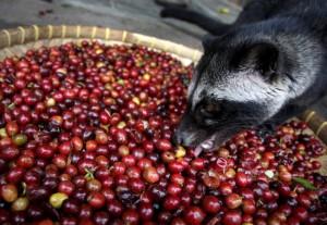 мусанг поедает плоды кофе