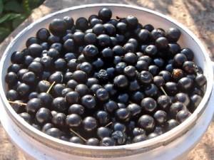 ягоды черёмухи