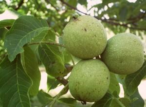 зелёный грецкий орех на дереве