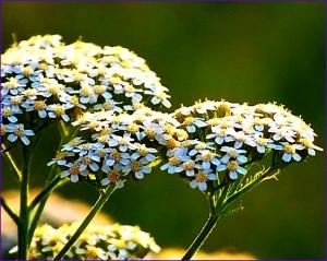 цветы тысячелистника