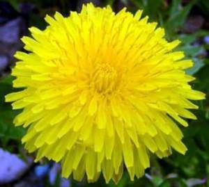 жёлтый одуванчик