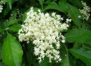 цветы бузины