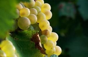 виноград Алиготе