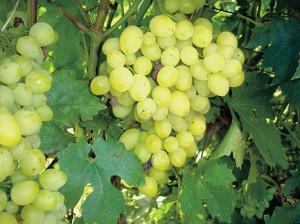 Винный виноград