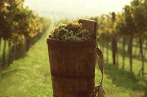 токайские виноградники
